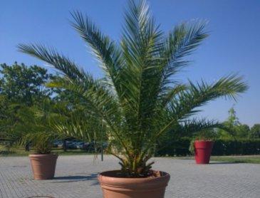 Où acheter un palmier sur Sablons?